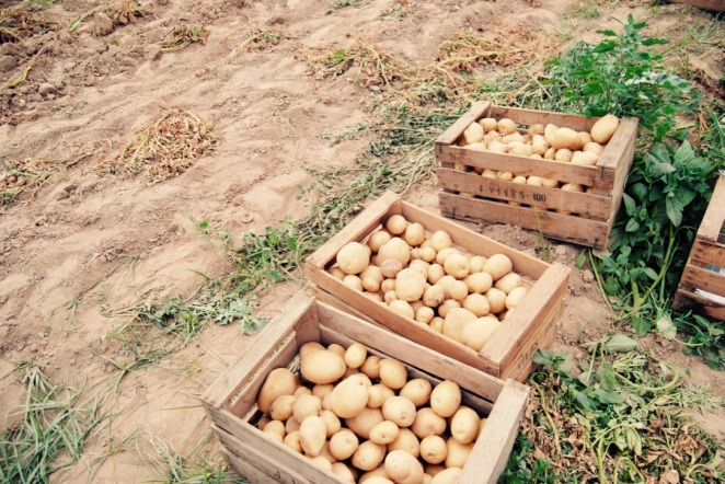 Caixes de patates