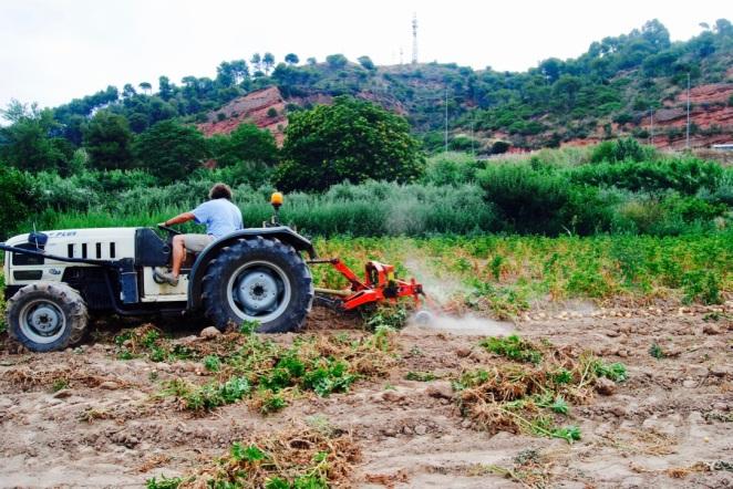 Removent la terra per treure les patates.